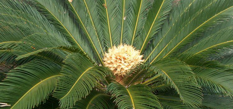 Intoxicación por cica o falsa palmera (Cycas revoluta)