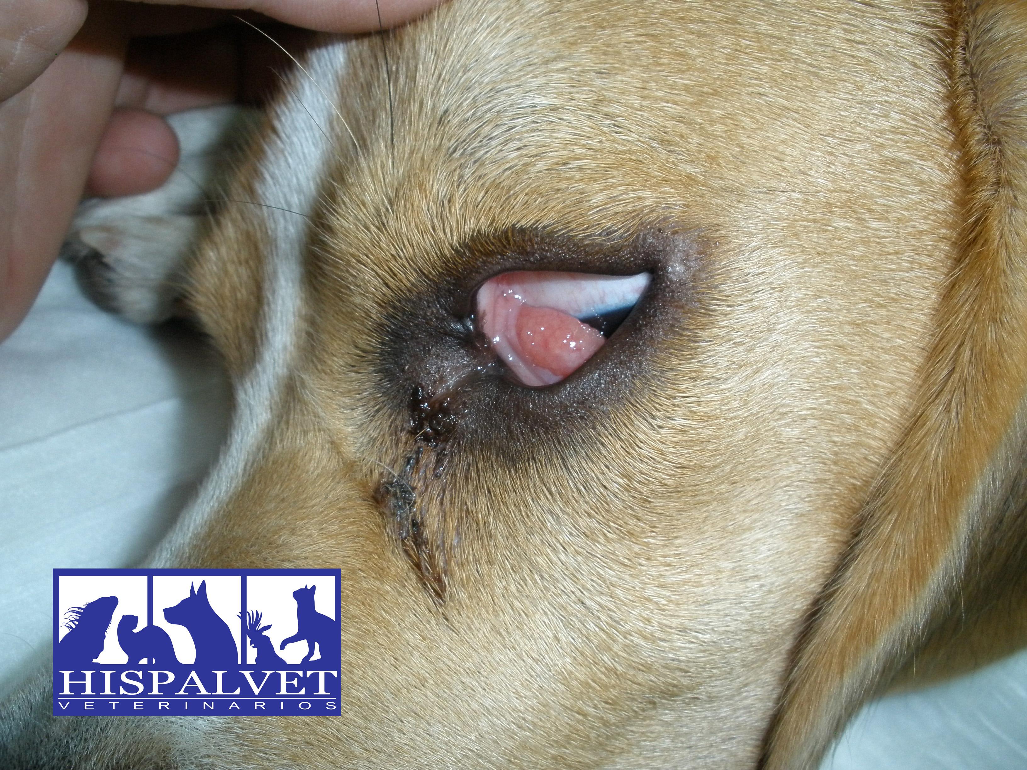 Prolapso de glándula lagrimal en perros - Hispalvet Veterinarios