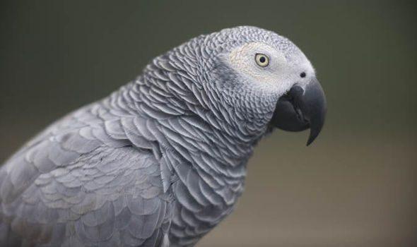 Cambio en la legislación CITES del loro gris (Psittacus erithacus)