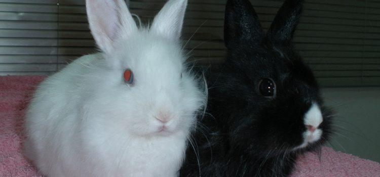 ¿Por qué esterilizar a mi conejo / coneja?