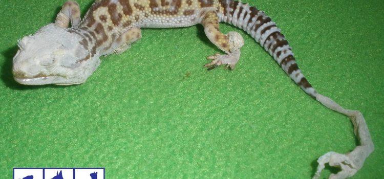 Disecdisis (problemas de muda) en reptiles