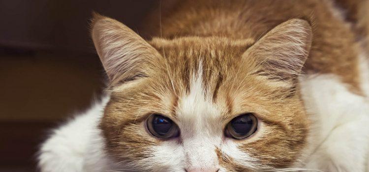 ¿Cómo identifico el dolor en mi gato?